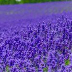 紫が好きな人の心理【紫が好きな人の特徴や性格について】